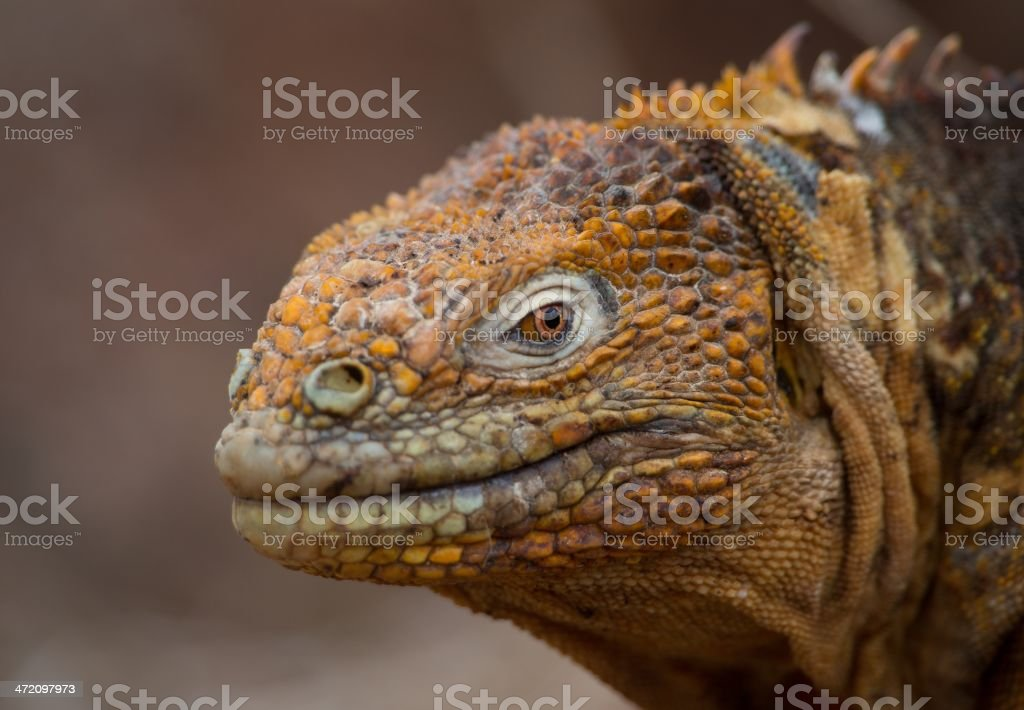 Galapagos Land Iguana stock photo