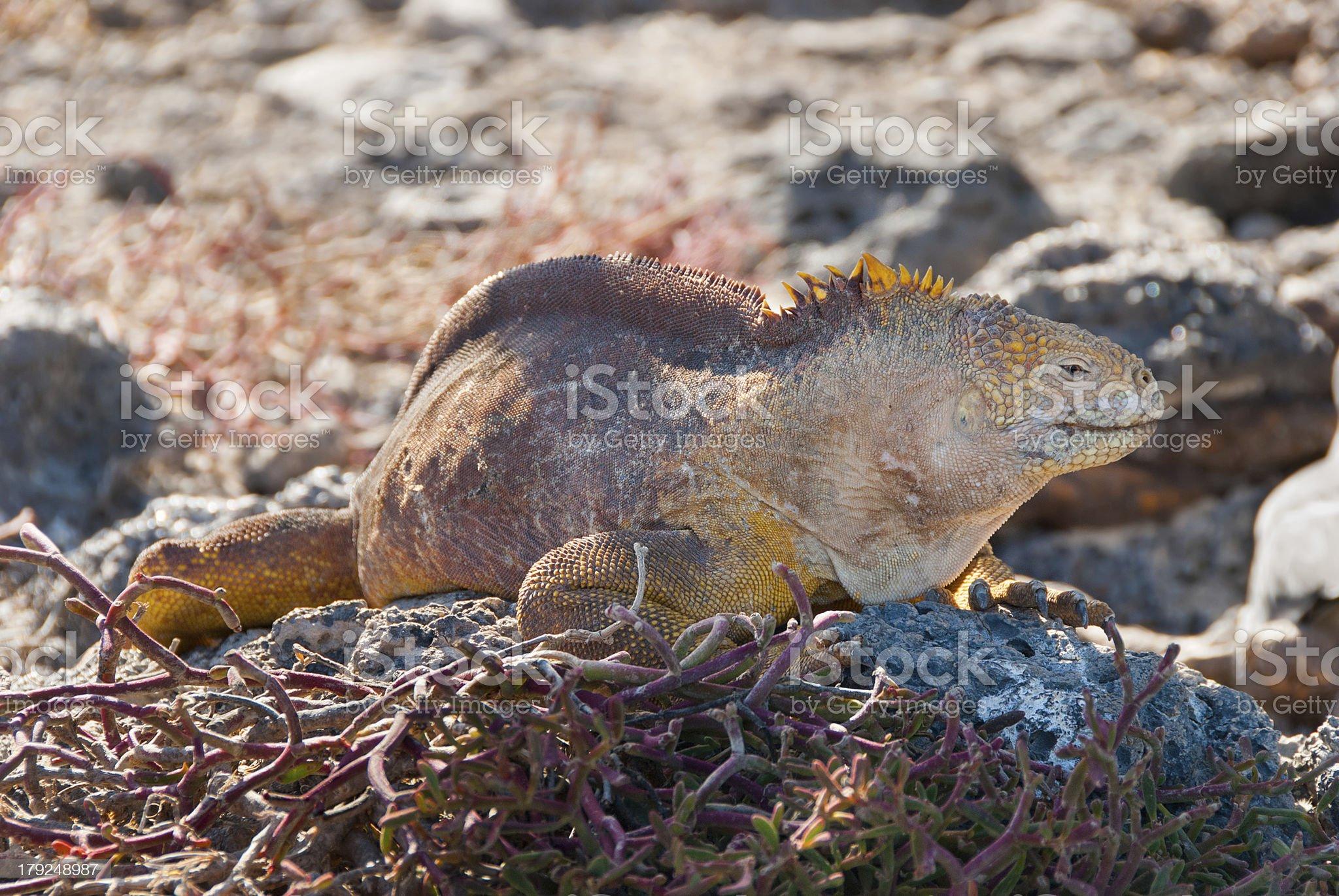Galapagos Land Iguanas royalty-free stock photo