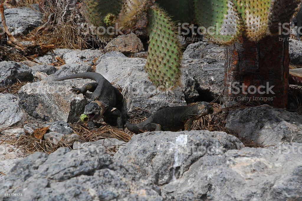 Galapagos Land Iguanas royalty-free stock photo