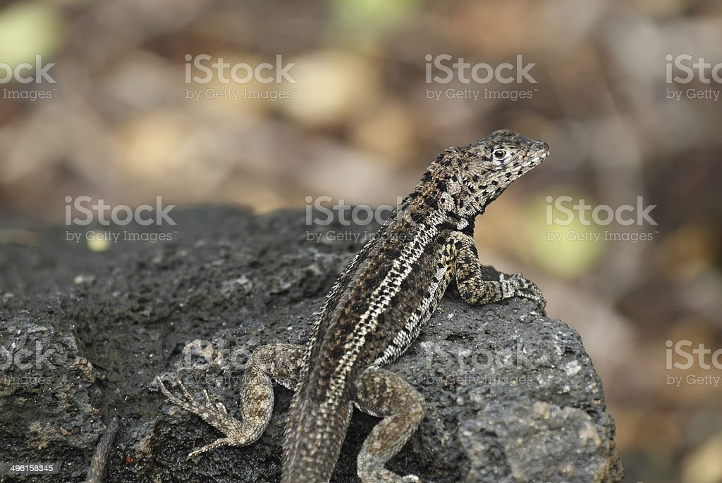 Galapagos Lava Lizard (Microlophus albemarlensis) royalty-free stock photo