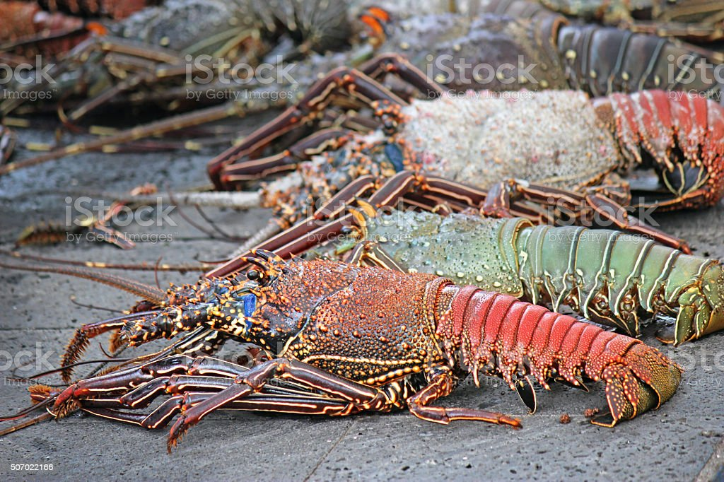 Galapagos Lobsters for Sale stock photo
