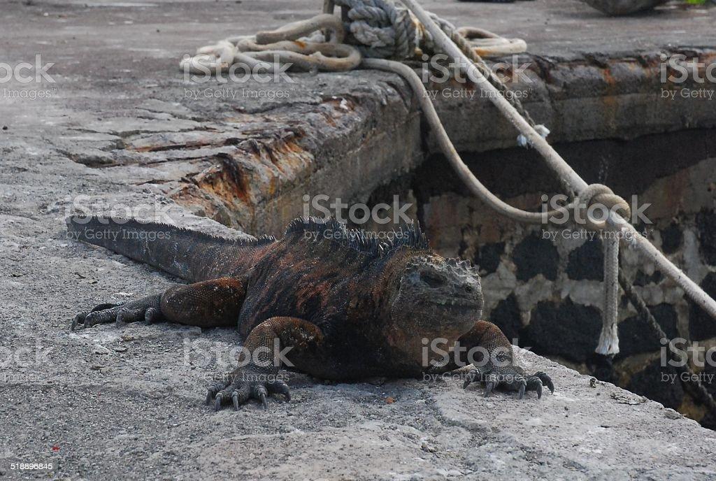 Galapagos Marine Iguana at Darwin Station royalty-free stock photo