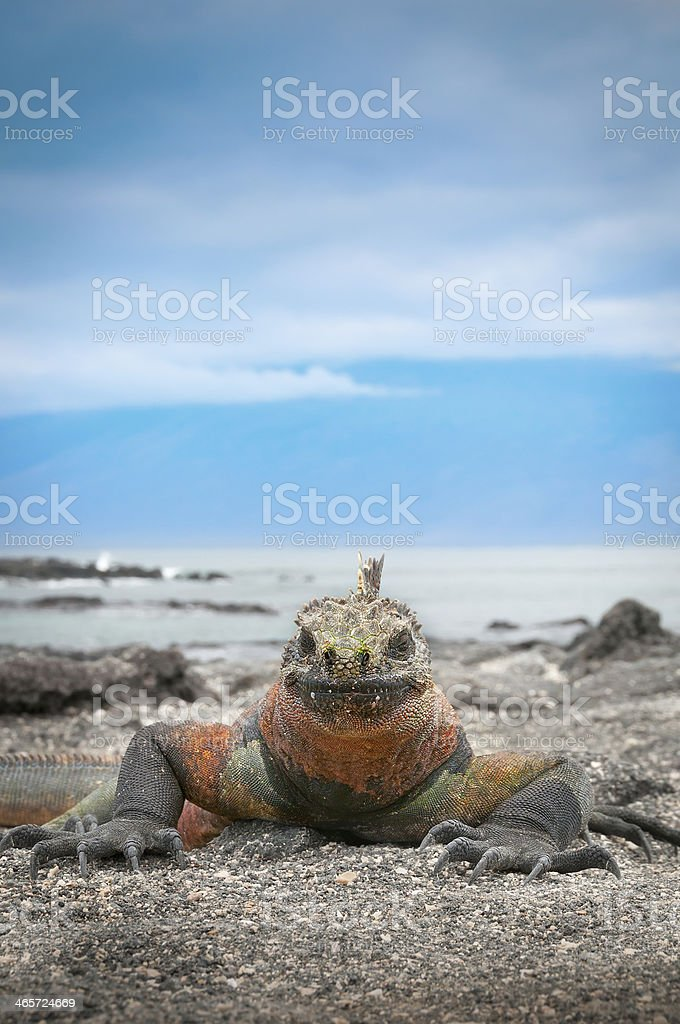 Galapagos marine iguana face on with blue sky background stock photo