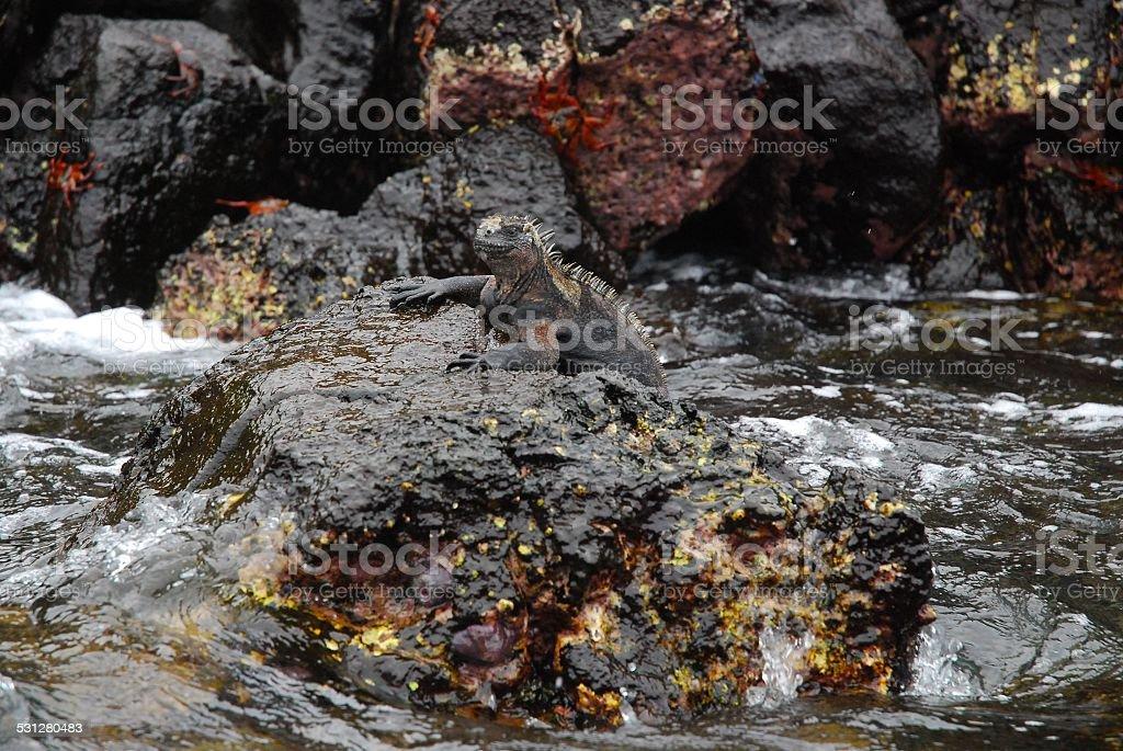 Galapagos Marine Iguana royalty-free stock photo