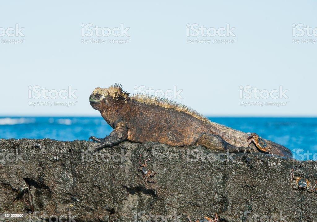 Galapagos Marine Iguana stock photo 831655860 | iStock