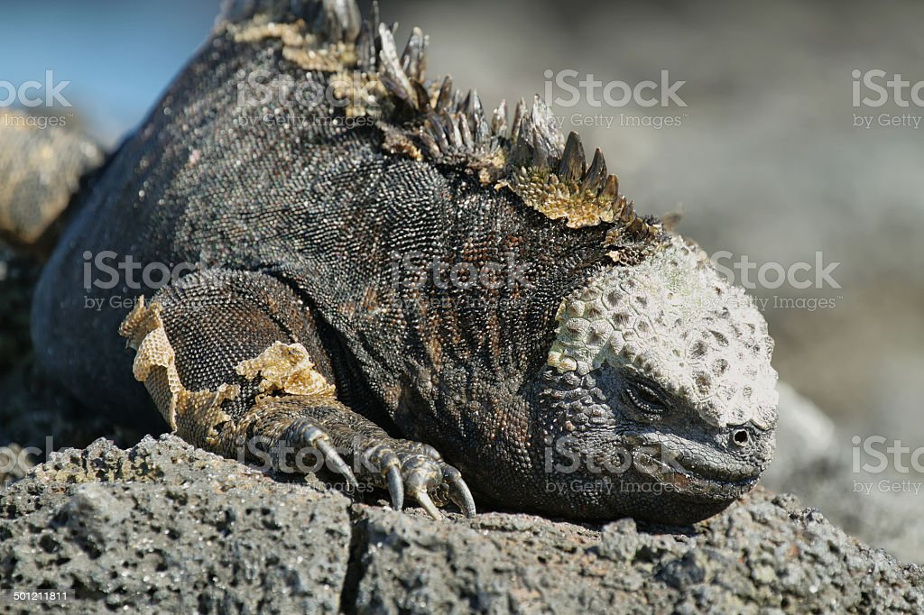 Galapagos Marine Iguana resting on rocks royalty-free stock photo
