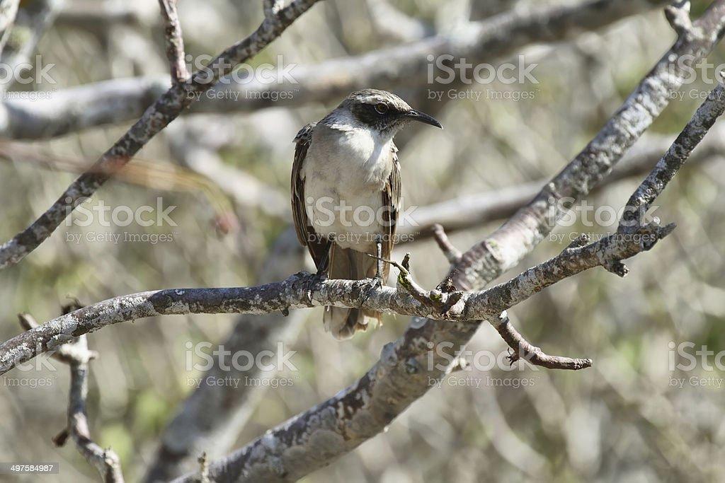 Galapagos Mockingbird royalty-free stock photo