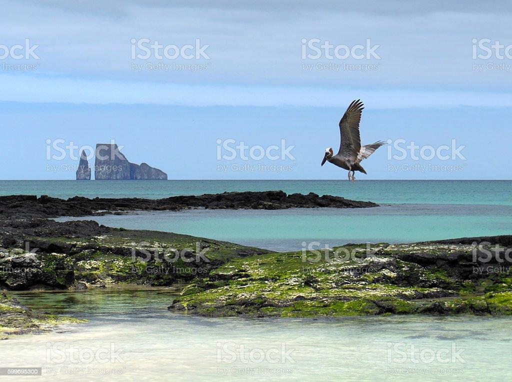 Galapagos Pelican stock photo