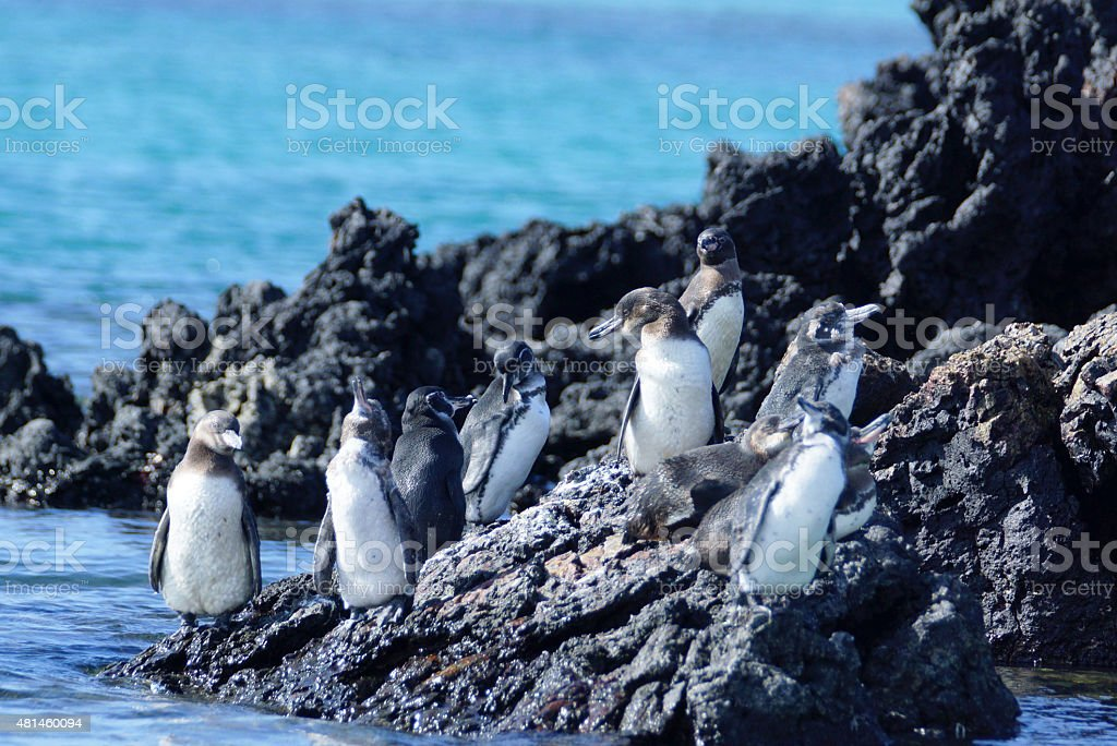 Gal?pagos pinguin stock photo