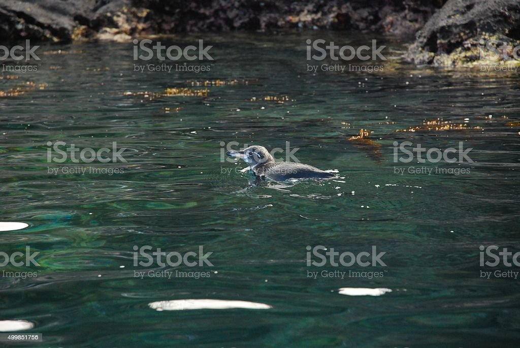 Galapagos Penguin Swimming in Tagus Cove of Isabela Island royalty-free stock photo
