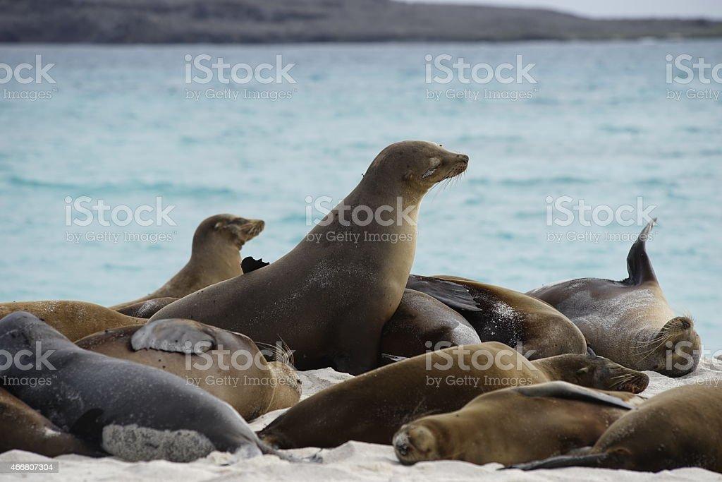 Galapagos sea lion colony on beach stock photo