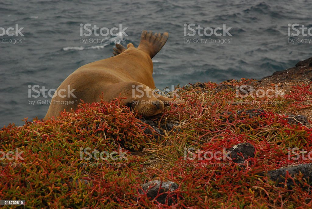 Galapagos Sea Lion on a cliff royalty-free stock photo