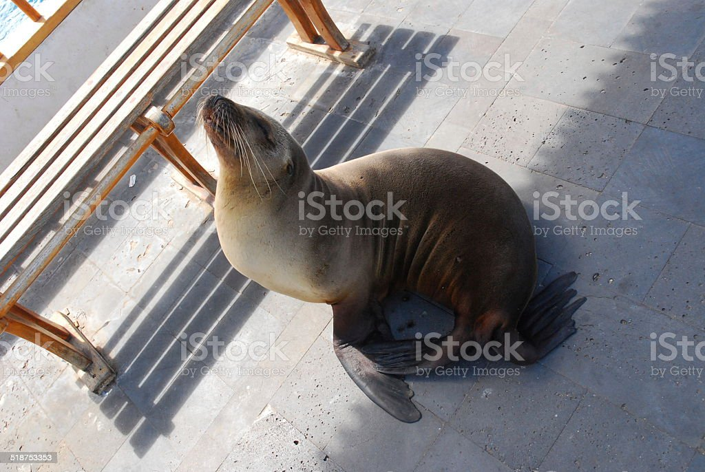 Galapagos Sea Lion on the Dock royalty-free stock photo