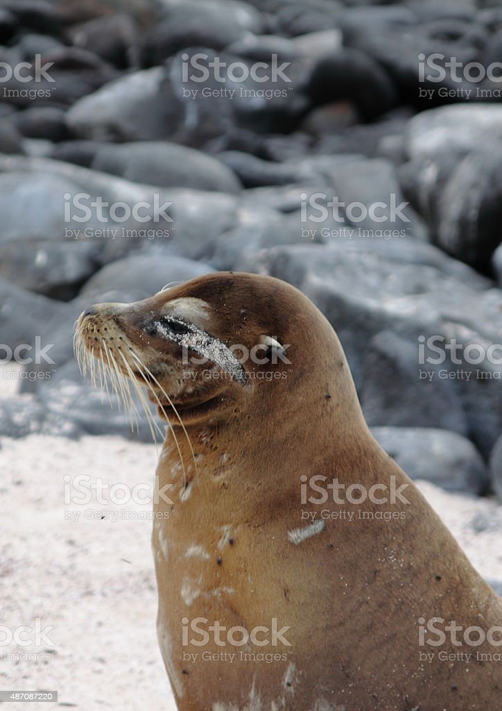 Galapagos Sea Lion stock photo