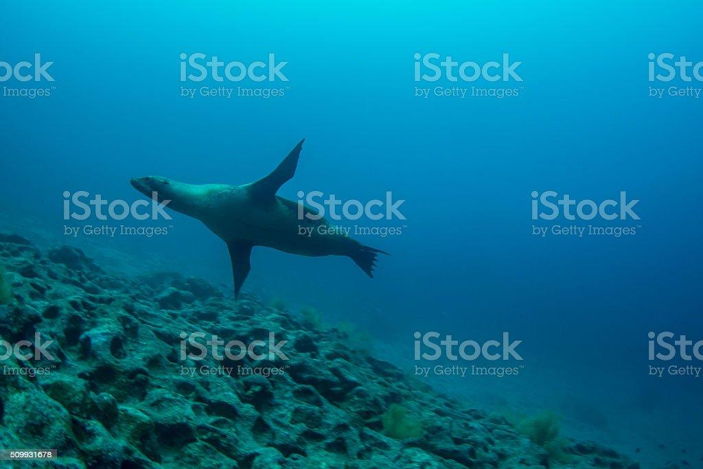 Galapagos sea lion stock photo
