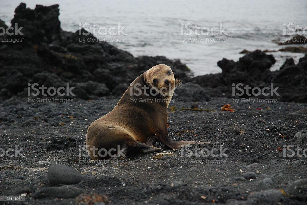 Galapagos Sea Lion posing on the Beach stock photo