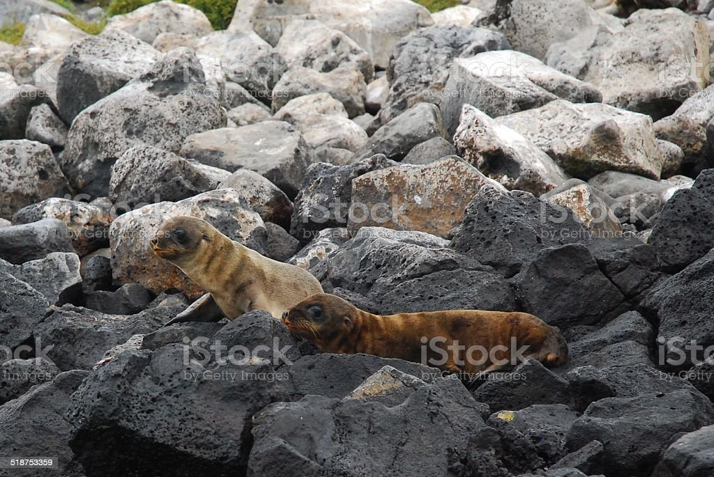 Galapagos Sea Lion Pups on the Rocks royalty-free stock photo