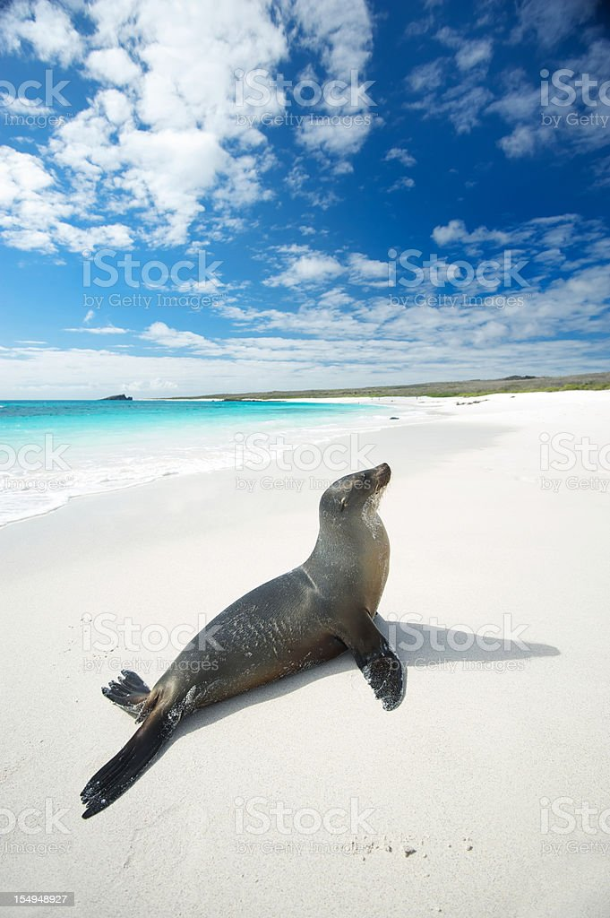 Galapagos Sea Lion Suns Himself on Bright White Beach stock photo
