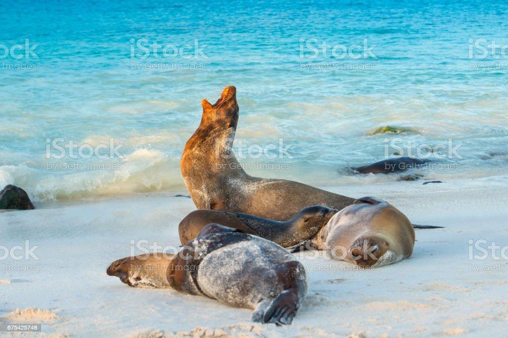 Galapagos sea lions (Zalophus wollebaeki) at the beach of Espanola island stock photo