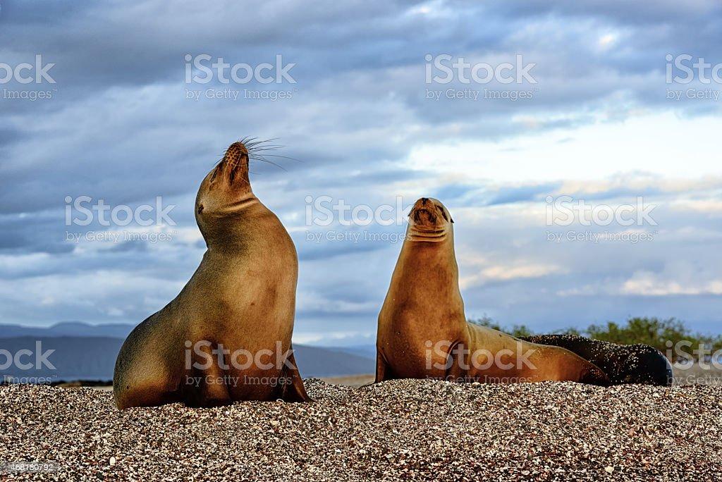 Galapagos sea lions on Fernandina Island, Ecuador stock photo
