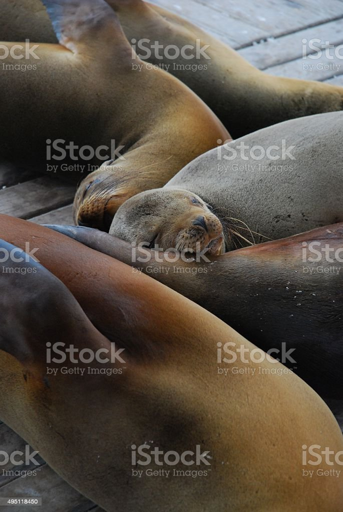Galapagos Sea Lions Relaxing on a Dock royalty-free stock photo