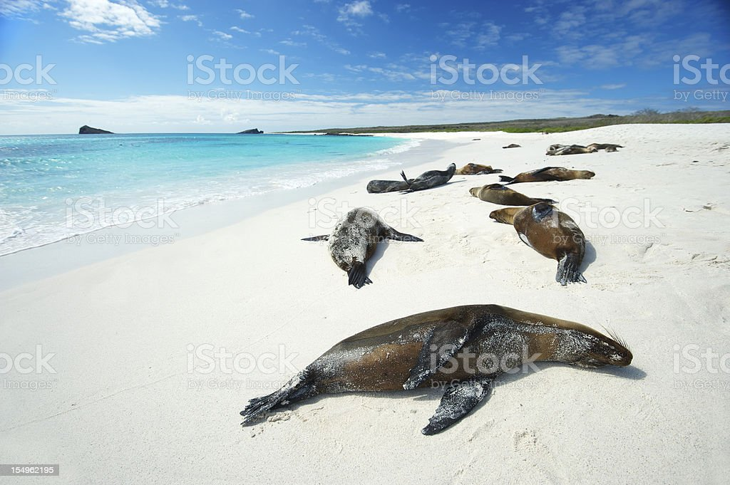 Galapagos Sea Lions Sun Themselves on Bright Beach stock photo