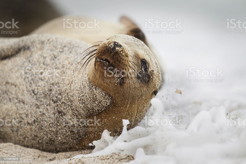 Galapagos Seal escaping from water stock photo