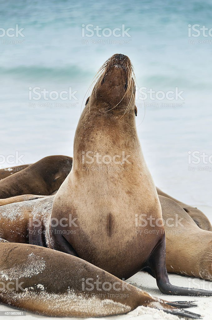 Galapagos sealion raising its head. stock photo