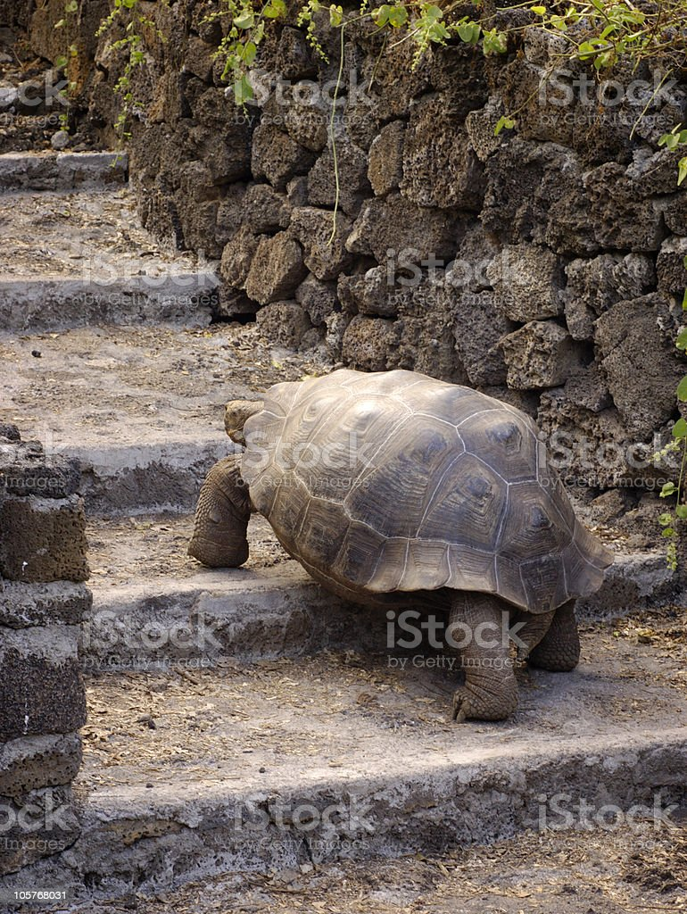 Galapagos Tortoise stock photo