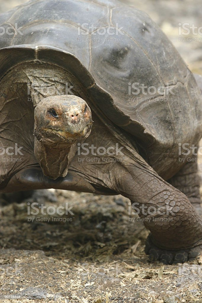 Galapagos Tortoise royalty-free stock photo