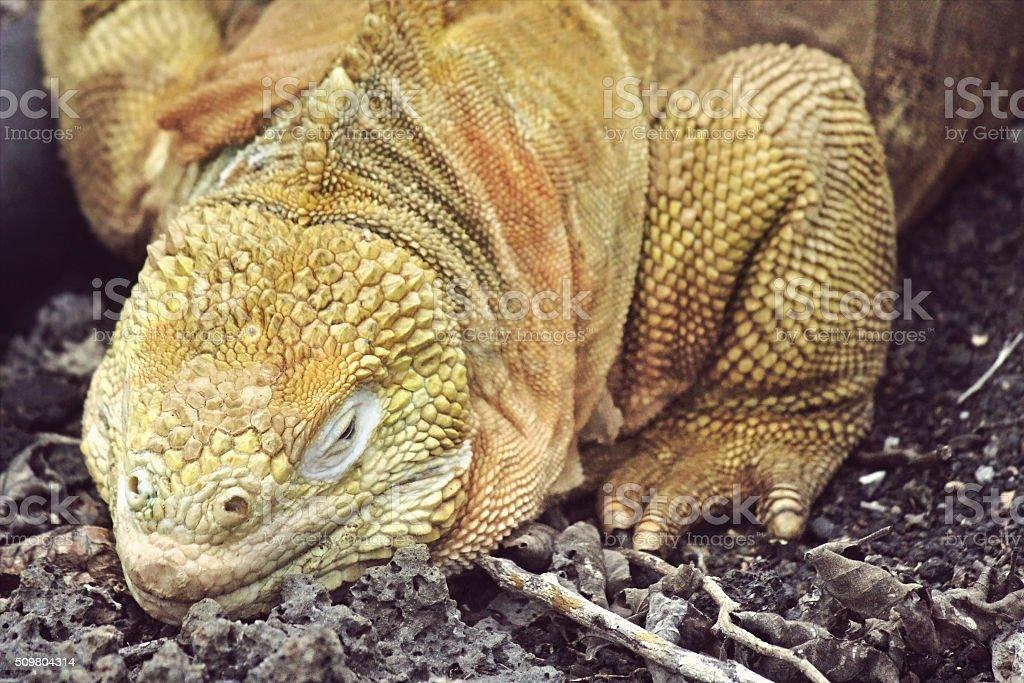 Galapagos Yellow Land Iguana stock photo