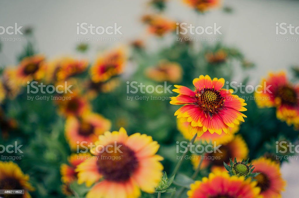 Gallardia (Golden Blanket Flower, Cockade Flower) stock photo