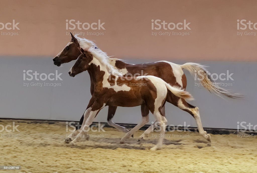 galloping arabian horse - mare and foal stock photo