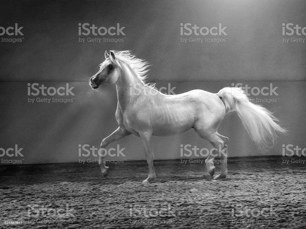 galloping arabian horse - stallion in shining light stock photo