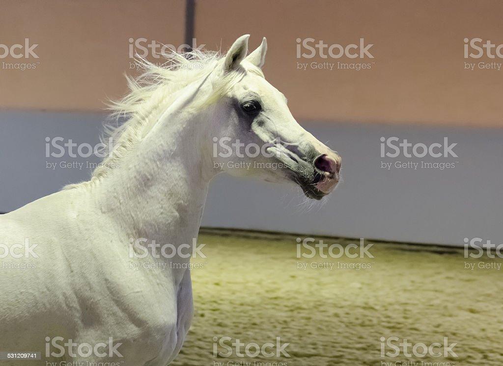 galloping arabian horse - stallion portrait stock photo