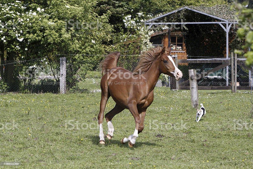 Galloping Arabian stallion in a pasture stock photo