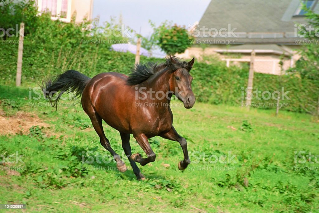 galloping brown horse royalty-free stock photo