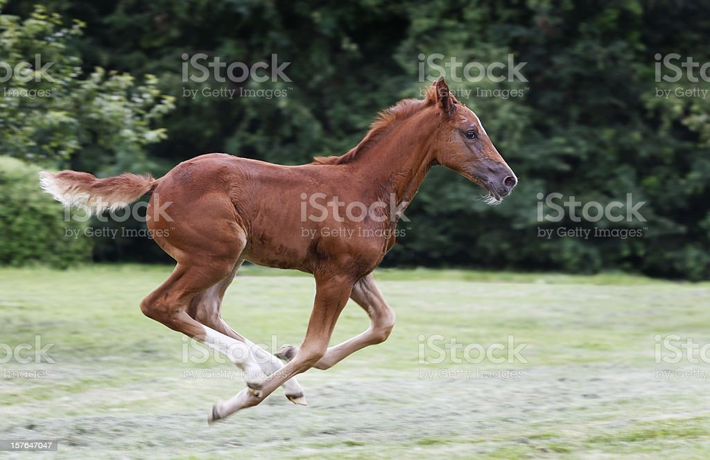 Galloping free royalty-free stock photo