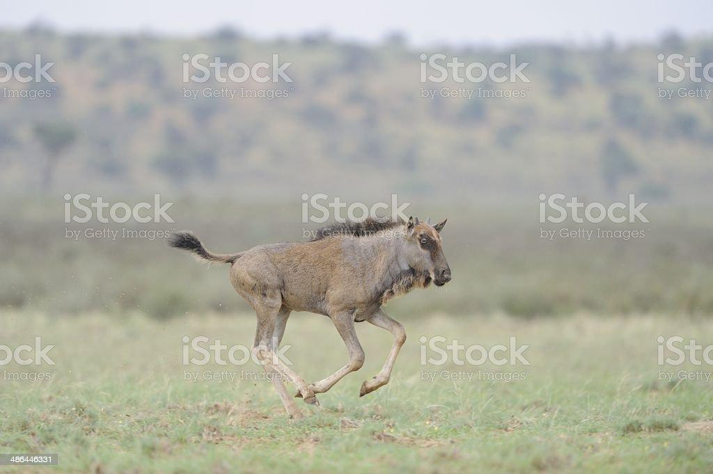 Galloping Gnu at Geinab stock photo