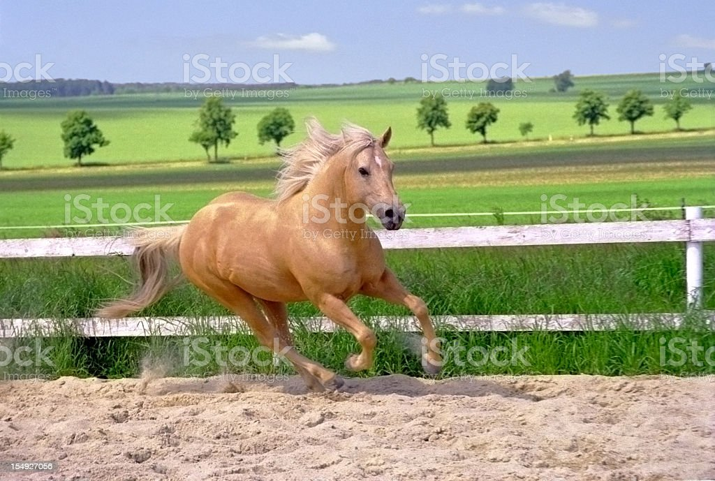 galloping Quarter Horse in paddock stock photo