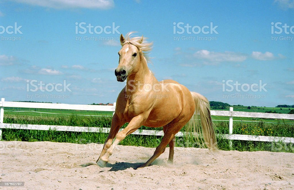 galloping Quarter Horse stock photo