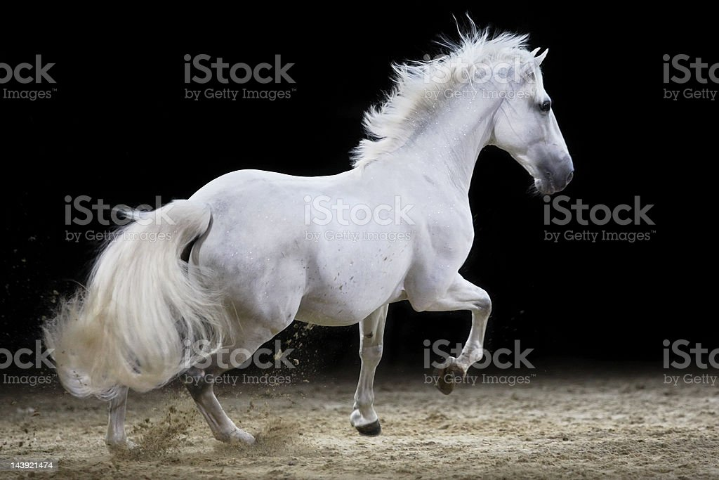 Galloping stallion stock photo