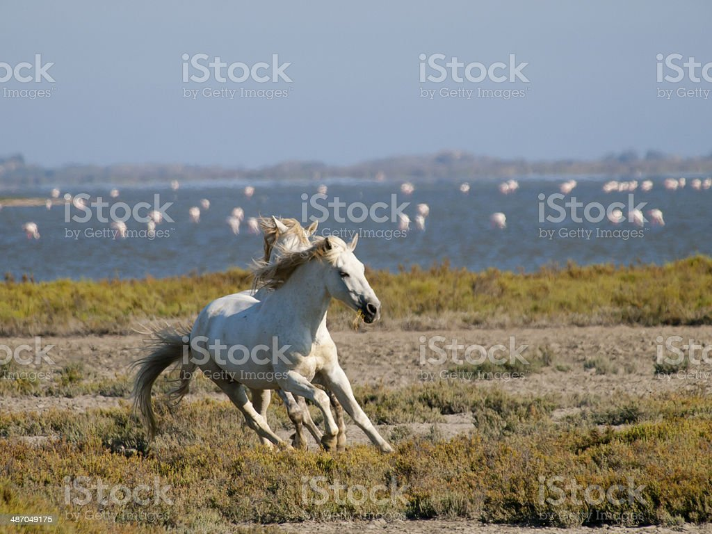 Galloping white horses with flamingos in France stock photo