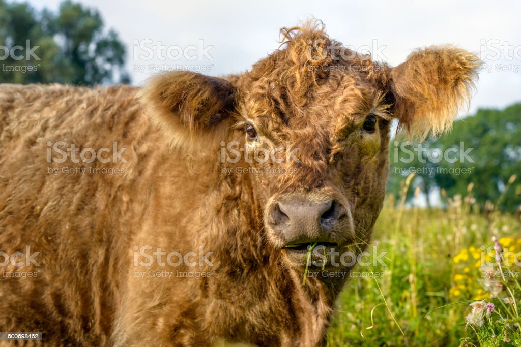 Galloway bull curiously looking at the photographer stock photo