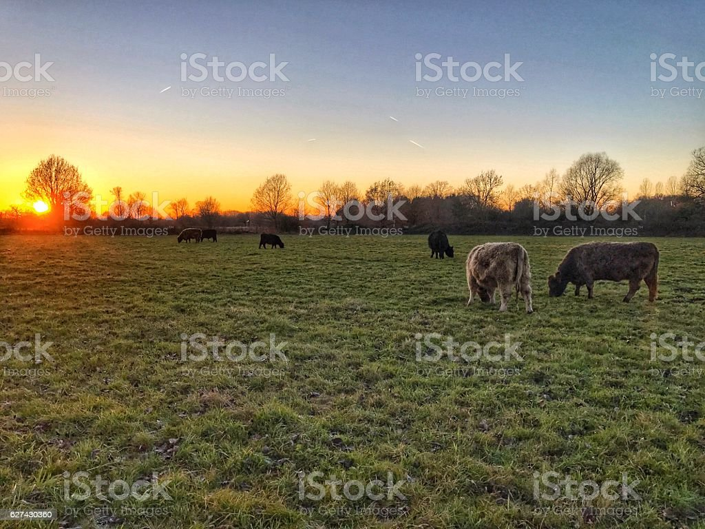 Galloway cattle grazing during sunset in nature reserve,Belgium stock photo