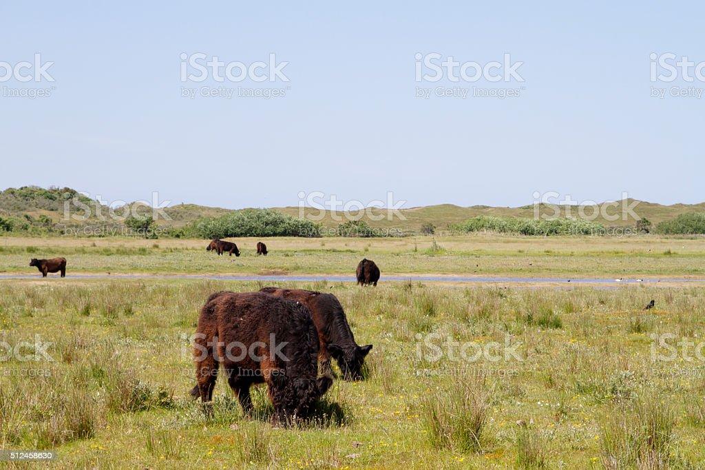 Galloway Cattle grazing stock photo