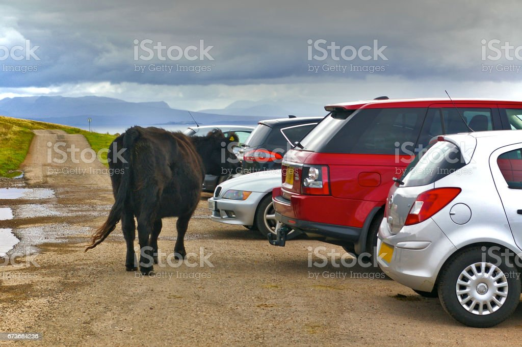 Galloway cattle in a parking lot between parked cars stock photo