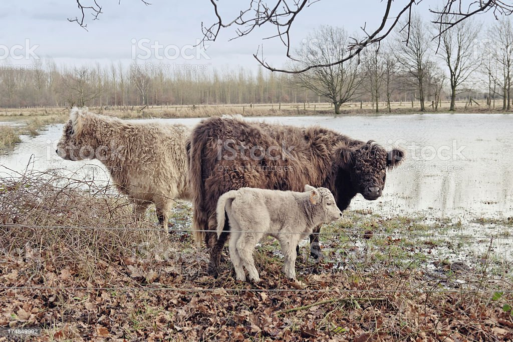 Galloway cattle royalty-free stock photo