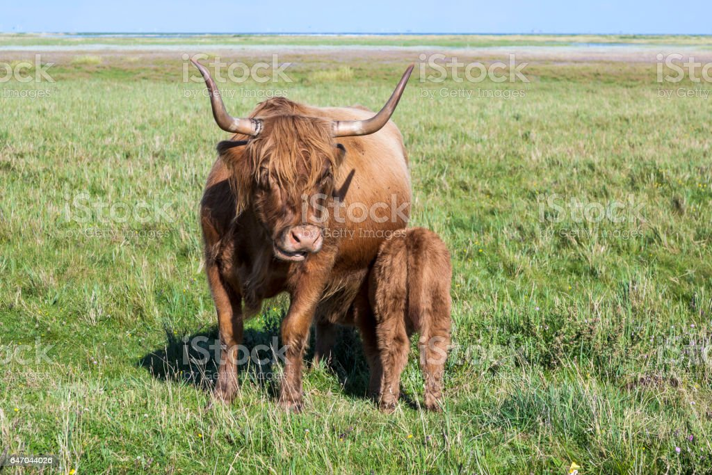 Galloway cattle standing in the meadow stock photo