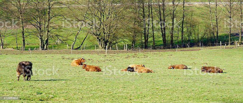 Galloway cattles stock photo